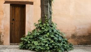 Wooden door and ivy around a tree              Credit: Shutterstock