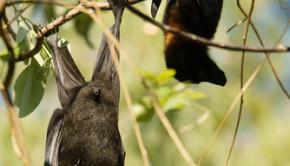 fruit bat in a tree shutterstock_119741824
