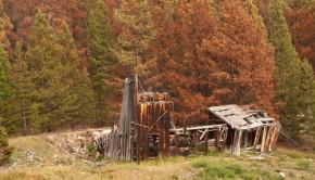 beetle killed pines shutterstock_65273065