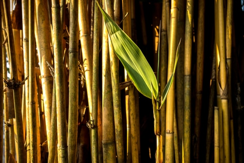 bamboo closeup with green leaf shutterstock_130371773