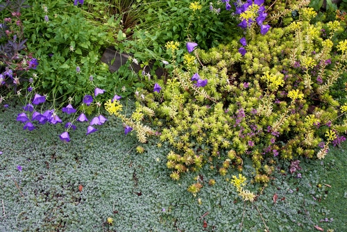 Drought-tolerant woolly silver thyme, golden sedum, and miniature blue bellflowers are perennial low creeping groundcovers blooming together along a garden pathway. Source: Shutterstock