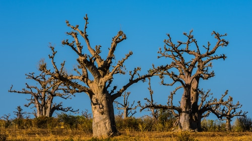 Baobab trees in southern Africa shutterstock_139551464