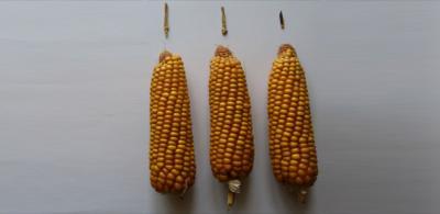 Corn AAAS 60800_web