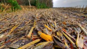 maize ears after garvest shutterstock_165477674