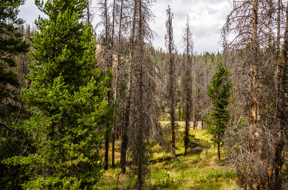 beetle kill http-::www.shutterstock.com:pic-129279071:stock-photo-few-living-trees-remain-in-this-forest-where-the-pine-beetle-has-killed-the-lodgepole-pines-pinus.html?src=9l+K300ezvVmRvV8gmQz9A-1-2shutterstock_129279071