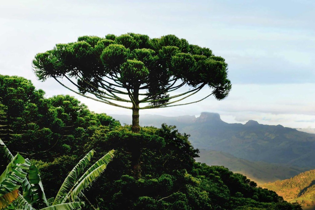 AURACACIA TREE